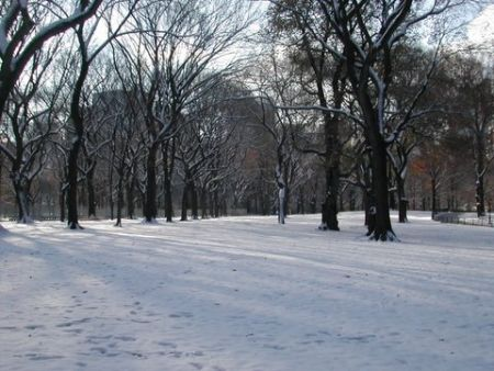 Elm trees in snow, Central Park, December 6, 2005